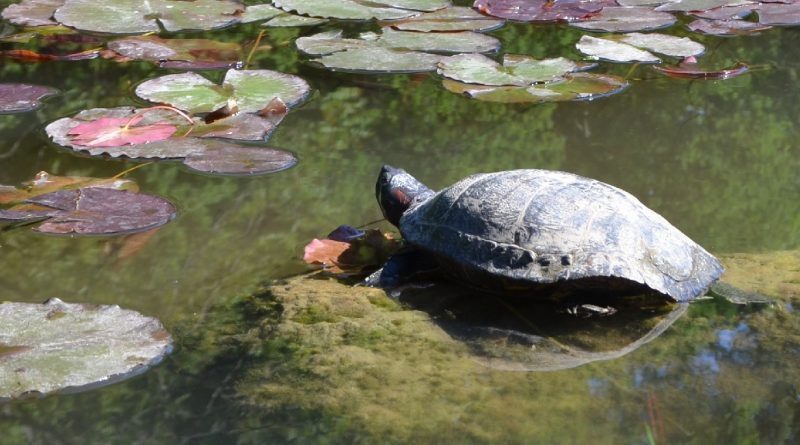Rotwangen-Schmuckschildkröte am Bamberger Hainweiher